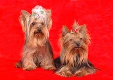 Deux chiens terriers de Yorkshire sur le fond rouge de textile Images libres de droits