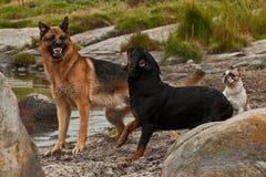 Deux chiens tracassés par trois 3 photo libre de droits