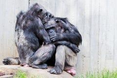 Deux chimpanzés Photographie stock
