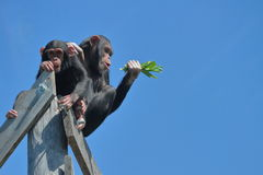 Deux chimpanzés hauts contre le ciel bleu Photographie stock libre de droits