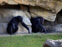 Deux chimpanzés se reposant sur un fond de roche image stock