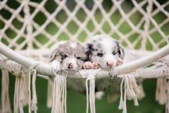 Deux chiot de marbre border collie dormant dans un hamac blanc en nature, portrait images stock