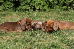 Deux chiots étonnants de teckel s'étendant dans le jardin Photos stock