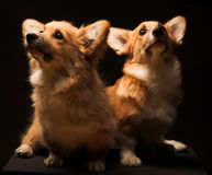 Deux chiots. Photo libre de droits
