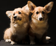 Deux chiots. Photos libres de droits