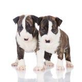 Deux chiots anglais de bull-terrier Photo stock