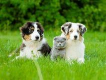 Deux chiots australiens de berger et chat écossais se trouvant sur l'herbe verte Images libres de droits