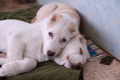 Deux chiots blancs, 5 mois, repos sur les ordures à l'intérieur photos libres de droits