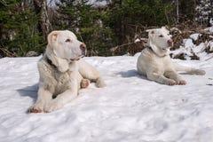 Deux chiots blancs se trouvent sur la neige et regardent dans une direction images libres de droits