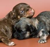 Deux chiots d'un lap-dog image libre de droits