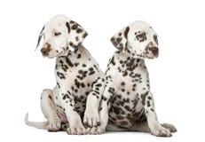 Deux chiots dalmatiens Photo libre de droits