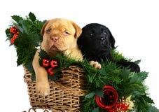Deux chiots dans l'étrier de Noël. Photographie stock