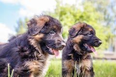 Deux chiots de berger allemand ayant l'amusement sur la pelouse Photos libres de droits