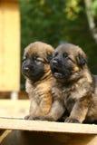 Deux chiots de bergers allemands Photo libre de droits