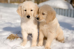Deux chiots de chien d'arrêt d'or dans la neige Image stock