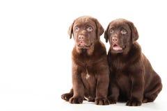 Deux chiots de chien d'arrêt de chocolat sur le blanc Photos libres de droits