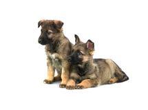 Deux chiots de chien de berger de l'Allemagne photographie stock libre de droits