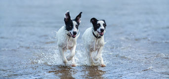 Deux chiots de chien de garde fonctionnant sur l'eau Photographie stock
