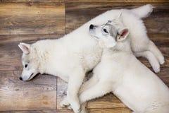 Deux chiots de chien de traîneau sibérien à la maison se trouvant sur le plancher mode de vie avec le chien Photos stock