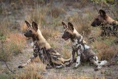 Deux chiots de chien sauvage se reposant dans l'herbe grande Photographie stock