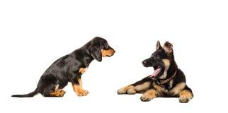 Deux chiots de chien slovaque de race et de berger allemand Photos stock