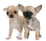 Deux chiots de chiwawa Photo libre de droits