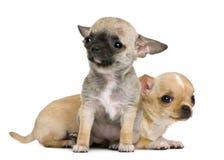 Deux chiots de chiwawa, 2 mois et 3 mois Image libre de droits