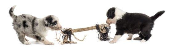 Deux chiots de croisement jouant avec une corde Photo libre de droits
