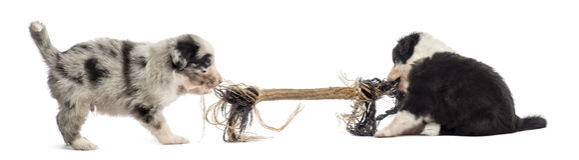 Deux chiots de croisement jouant avec une corde Photo stock