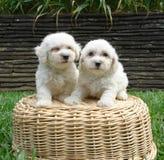 Deux chiots de frise de Bichon Image libre de droits
