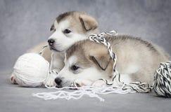 Deux chiots de malamute avec une bille de chaîne de caractères Photos stock