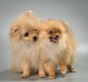 Deux chiots de race un spitz-chien de Pomeranian dans le studio Images libres de droits