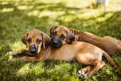 Deux chiots de Rhodesian Ridgeback se trouvant sur l'herbe Photo stock