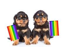 deux chiots de rottweiler avec la couleur d'arc-en-ciel marquent symboliser des droits des homosexuels D'isolement sur le blanc Photographie stock