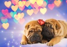 Deux chiots de shar-pei dans l'amour Photo libre de droits