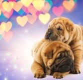 Deux chiots de shar-pei dans l'amour Photographie stock libre de droits