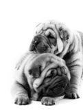 Deux chiots de sharpei Image libre de droits