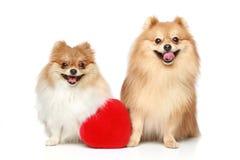 Deux chiots de Spitz dans l'amour Photographie stock libre de droits