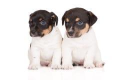 Deux chiots de terrier de Russell de cric Image libre de droits
