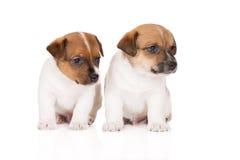 Deux chiots de terrier de Russell de cric Photos libres de droits