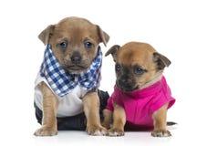Deux chiots habillés de chiwawas (bébé d'un mois) Photos stock