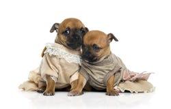 Deux chiots habillés de chiwawas (bébé d'un mois) Image stock