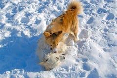 Deux chiots jouant en hiver Images libres de droits