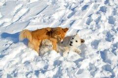 Deux chiots jouant en hiver Images stock