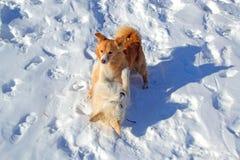 Deux chiots jouant en hiver Image libre de droits