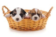 Deux chiots mignons dans le panier Photos libres de droits