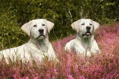 Deux chiots mignons de chien de Labrador sur le pré avec les fleurs pourpres photographie stock libre de droits