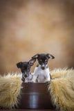 Deux chiots mignons de Rat terrier Image stock