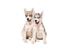Deux chiots multiplient les chiens de traîneau d'isolement sur le fond blanc Images libres de droits