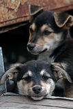 Deux chiots sans foyer tristes. Photos stock